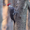 "Woodpeckers: <span style=""color:#fff; background:#333;"">Pileated Woodpecker </span> <br> Creve Couer Lake <br> <a href=""/Birds/2006-Birding/Birding-2006-November/2006-11-161718-Creve-Coeur/i-DqGgJ8S"">2006-11-20</a> <br><br> My 1st Missouri photo, species #148 <br> 2006-11-17 15:48:14 <br><div class=""noshow"">  See #148 in photo gallery  <a href=""/Birds/2006-Birding/Birding-2006-November/2006-11-161718-Creve-Coeur/i-GcnhknH""> here</a> </div>"