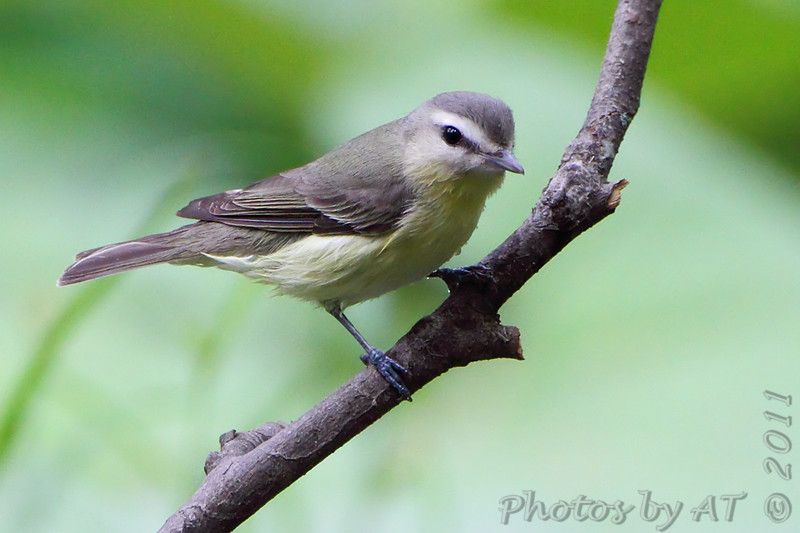 """Vireos: <span style=""""color:#fff; background:#333;"""">Philadelphia Vireo </span> <br> Tower Grove Park <br> <a href=""""/Birds/2011-Birding/Birding-2011-May/2011-05-11-Tower-Grove-Park/i-dtRLBWf"""">2011-05-11</a> <br><br> My 1st Missouri photo, species #240 <br> 2009-05-01 14:41:55 <br><div class=""""noshow"""">  See #240 in photo gallery  <a href=""""/Birds/2009-Birding/Birding-2009-May/2009-05-01-Tower-Grove-Park/i-FnbrMS8""""> here</a> </div>"""