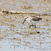"""Mudflats: Sandpipers: <span style=""""color:#fff; background:#333;"""">Western Sandpiper</span>  <br> Keeteman Rd/Old Monroe sod farm <br> Lincoln County, Missouri <br> <a href=""""/Birds/2008-Birding/Birding-2008-August/2008-08-03-Hwy-79-Corridor/i-S75w8g4"""">2008-08-03</a> <br><br> My 1st Missouri photo, species #198 <br> 2008-08-03 15:34:28 <br><div class=""""noshow"""">  See #198 in photo gallery  <a href=""""/Birds/2008-Birding/Birding-2008-August/2008-08-03-Hwy-79-Corridor/i-QvxgmLN""""> here</a> </div>"""