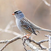 """Sparrows: <span style=""""color:#fff; background:#333;"""">White-crowned Sparrow </span> <br> Blue Grosbeak Trail <br> Weldon Spring Conservation Area <br> St. Charles County, Missouri <br> <a href=""""/Birds/2009-Birding/Birding-2009-March/2009-03-05-Busch/i-zHgPgZF"""">2009-03-05</a> <br><br> My 1st Missouri photo, species #26 <br> 2005-05-07 08:50:02 <br><div class=""""noshow"""">  See #26 in photo gallery  <a href=""""/Birds/Sparrows/i-7TQ8gcG""""> here</a> </div>"""