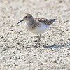 """Mudflats: Sandpipers: <span style=""""color:#fff; background:#333;"""">Least Sandpiper</span>  <br> Keeteman Rd/Old Monroe sod farm <br> Lincoln County, Missouri <br> <a href=""""/Birds/2008-Birding/Birding-2008-August/2008-08-03-Hwy-79-Corridor/i-Qjvwc66"""">2008-08-03</a> <br><br> My 1st Missouri photo, species #127 <br> 2006-08-21 13:01:46 <br><div class=""""noshow"""">  See #127 in photo gallery  <a href=""""/Birds/2006-Birding/Birding-2006-July-August/2006-08-Misc-Birds/i-6T88J68""""> here</a> </div>"""