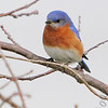 "Thrushes: <span style=""color:#fff; background:#333;"">Eastern Bluebird </span> <br> Busch Wildlife Conservation Area <br> <a href=""/Birds/2006-Birding/Birding-2006-April/2006-04-05-Busch-Wildlife/i-fL8ZdcF"">2006-04-05</a> <br><br> My 1st Missouri photo, species #52 <br> 2006-03-01 11:31:02 <br><div class=""noshow""> See #52 in photo gallery  <a href=""/Birds/2006-Birding/Birding-2006-March/2006-03-01-Busch-Wildlife/i-cHchzPj""> here</a> </div>"