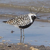 """Mudflats: Plovers: <span style=""""color:#fff; background:#333;"""">Black-bellied Plover</span>  <br><span class=""""showLBtitle"""">                                             </span> Riverlands Migratory Bird Sanctuary <br> St. Charles County, Missouri <br> <a href=""""/Birds/2009-Birding/Birding-2009-May/2009-05-12-RMBS/i-hkD9PtJ"""">2009-05-12</a> <br> <br> My 1st Missouri photo, species #246 <br> 2009-05-12 15:32:10 <br> <div class=""""noshow"""">See #246 in photo gallery <a href=""""/Birds/2009-Birding/Birding-2009-May/2009-05-12-RMBS/i-X2XvJnQ"""">here</a></div>"""