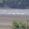 """Marsh Birds: <span style=""""color:#fff; background:#333;"""">American Flamingo</span>   <br> Donaldson Point Conservation Area <br> (About 1.2 miles through the heat waves) <br> <a href=""""/Birds/2019-Birding/Birding-2019-July/n-zzMSzq/2019-07-20-Donaldson-Point-CA/i-fxmNzmM"""">2019-07-20</a>  <br><br> My 1st Missouri photo, species #350 <br>  2019-07-20 14:25:18 <br><div class=""""noshow"""">  See #350 in photo gallery  <a href=""""/Birds/2019-Birding/Birding-2019-July/n-zzMSzq/2019-07-20-Donaldson-Point-CA/i-hs48V48""""> Here</a> </div>"""
