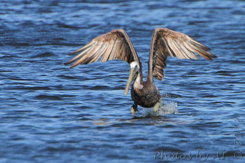 """Shorebirds: <span style=""""color:#fff; background:#333;"""">Brown Pelican </span> <br> Binder Lake Jefferson City <br> <a href=""""/Birds/2012-Birding/Birding-2012-September/2012-09-21-Binder-Lake/i-bh9rSLp"""">2012-09-21</a> <br><br> My 1st Missouri photo, species #248 <br><span style=""""color:#fff"""">*** 8th Missouri record ***</span>  <br> 2009-05-15 08:02:05 <br><div class=""""noshow"""">  See #248 in photo gallery  <a href=""""/Birds/2009-Birding/Birding-2009-May/2009-05-15-RMBS-BRPE/i-vPTfx5t""""> here</a> </div>"""
