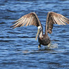 "Shorebirds: <span style=""color:#fff; background:#333;"">Brown Pelican </span> <br> Binder Lake Jefferson City <br> <a href=""/Birds/2012-Birding/Birding-2012-September/2012-09-21-Binder-Lake/i-bh9rSLp"">2012-09-21</a> <br><br> My 1st Missouri photo, species #248 <br><span style=""color:#fff"">*** 8th Missouri record ***</span>  <br> 2009-05-15 08:02:05 <br><div class=""noshow"">  See #248 in photo gallery  <a href=""/Birds/2009-Birding/Birding-2009-May/2009-05-15-RMBS-BRPE/i-vPTfx5t""> here</a> </div>"