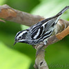 "Wood-Warblers: <span style=""color:#fff; background:#333;"">Black and White Warbler </span> <br><span class=""showLBtitle"">                                                                                         </span> Tower Grove Park <br> St. Louis, Missouri <br> <a href=""/Birds/2010-Birding/Birding-2010-May/2010-05-11-TGP-Warblers/i-fsH4Sbd"">2010-05-11</a> <br> <br> My 1st Missouri photo, species  #117 <br> 2006-06-03 12:40:52 <br> <div class=""noshow"">See #117 in photo gallery <a href=""/Birds/2006-Birding/Birding-2006-June/2006-06-03-Weldon-Springs-Katy/i-5zRD87c"">here</a></div>"