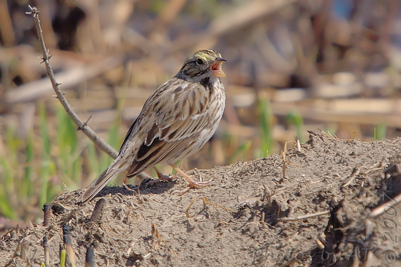"""Sparrows: <span style=""""color:#fff; background:#333;"""">Savannah Sparrow </span> <br> Eagle Bluffs <br> <a href=""""/Birds/2007-Birding/Birding-2007-April/2007-04-19-Eagle-Bluffs-and/i-sL9j6bV"""">2007-04-19</a> <br><br> My 1st Missouri photo, species #106 <br> 2006-05-20 15:27:17 <br><div class=""""noshow"""">  See #106 in photo gallery  <a href=""""/Birds/2006-Birding/Birding-2006-May/2006-05-20-Creve-Coeur-Lake/i-LK5BFmC""""> here</a> </div>"""