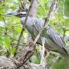 "Marsh Birds: Herons: <span style=""color:#fff; background:#333;"">Yellow-crowned Night-Heron</span>  <br> Forest Park <br> St. Louis, Mo <br> <a href=""/Birds/2006-Birding/Birding-2006-July-August/2006-08-03-Forest-Park/i-B2Kr4Vg"">2006-08-03</a> <br><br> My 1st Missouri photo, species #123  <br> 2006-08-03 12:32:35 <br><div class=""noshow"">  See #123 in photo gallery  <a href=""/Birds/2006-Birding/Birding-2006-July-August/2006-08-03-Forest-Park/i-B9T3WRP""> here</a> </div>"