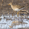 """Mudflats: Sandpipers: <span style=""""color:#fff; background:#333;"""">Pectoral Sandpiper</span>  <br> B K Leach Memorial Conservation Area <br> Lincoln County, Missouri <br> <a href=""""/Birds/2009-Birding/Birding-2009-March/2009-03-26-BK-Leach/i-fn2dCJK"""">2009-03-26</a> <br><br> My 1st Missouri photo, species #78 <br> 2006-04-15 12:03:20 <br><div class=""""noshow"""">  See #78 in photo gallery  <a href=""""/Birds/2006-Birding/Birding-2006-April/2006-04-15-Creve-Coeur-Marsh/i-r3rQmXm""""> here</a> </div>"""