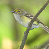 "Vireos: <span style=""color:#fff; background:#333;"">White-eyed Vireo </span> <br> Greers Access on Eleven Point River <br> 2014-06-02 <br><br> My 1st Missouri photo, species #167 <br> 2007-05-01 14:00:22 <br><div class=""noshow""> See #167 in photo gallery  <a href=""/Birds/2007-Birding/Birding-2007-May/2007-05-01-Tower-Grove-Park/i-rpvMvVN""> here</a> </div>"