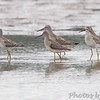"""Mudflats: Sandpipers: <span style=""""color:#fff; background:#333;"""">Stilt Sandpipers</span>  <br><span class=""""showLBtitle"""">                                             </span> Confluence Point State Park Road <br> Just outside entrance <br> St. Charles County, Missouri <br> <a href=""""/Birds/2010-Birding/Birding-2010-September/2010-09-10-Riverlands/i-RHvWsC8"""">2010-09-10</a> <br> <br> My 1st Missouri photo, species #210 <br> 2008-08-22 17:30:56 <br> <div class=""""noshow"""">See #210 in photo gallery <a href=""""/Birds/2008-Birding/Birding-2008-August/2008-08-22-Cannon-NWR/i-Z6gxzbj"""">here</a></div>"""