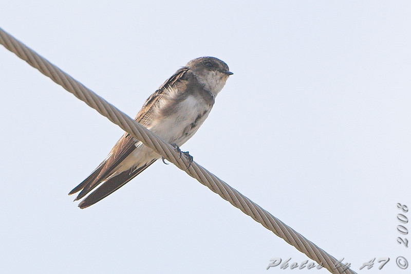 """Swallows: <span style=""""color:#fff; background:#333;"""">Bank Swallow </span> <br><span class=""""showLBtitle"""">                                             </span> Dalbow Road <br> St. Charles County, Missouri <br> <a href=""""/Birds/2008-Birding/Birding-2008-August/2008-08-12-Hwy-79-Corridor/i-rgw4h5G"""">2008-08-12</a> <br> <br> My 1st Missouri photo, species #202 <br> 2008-08-12 17:28:28 <br> <div class=""""noshow"""">See #202 in photo gallery <a href=""""/Birds/2008-Birding/Birding-2008-August/2008-08-12-Hwy-79-Corridor/i-rgw4h5G"""">here</a></div>"""