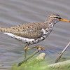 """Mudflats: Sandpipers: <span style=""""color:#fff; background:#333;"""">Spotted Sandpiper</span>  <br><span class=""""showLBtitle"""">                                             </span> Ellis Island Riverlands Migratory Bird Sanctuary <br> St. Charles County, Missouri <br> <a href=""""/Birds/2009-Birding/Birding-2009-April/2009-04-23-Ellis-Island/i-f3rGFTX"""">2009-04-23</a> <br> <br> My 1st Missouri photo, species #85 <br> 2006-04-27 10:29:07 <br> <div class=""""noshow"""">See #85 in photo gallery <a href=""""/Birds/2006-Birding/Birding-2006-April/2006-04-27-Riverlands/i-SfDsv9V"""">here</a></div>"""