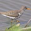 "Mudflats: Sandpipers: <span style=""color:#fff; background:#333;"">Spotted Sandpiper</span>  <br> Ellis Island Riverlands Migratory Bird Sanctuary <br> St. Charles County, Missouri <br> <a href=""/Birds/2009-Birding/Birding-2009-April/2009-04-23-Ellis-Island/i-f3rGFTX"">2009-04-23</a> <br><br> My 1st Missouri photo, species #85 <br> 2006-04-27 10:29:07 <br><div class=""noshow""> See #85 in photo gallery  <a href=""/Birds/2006-Birding/Birding-2006-April/2006-04-27-Riverlands/i-SfDsv9V""> here</a> </div>"
