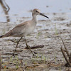 "Mudflats: Sandpipers: <span style=""color:#fff; background:#333;"">Willet</span>   <br> Heron Pond <br> Riverlands Migratory Bird Sanctuary <br>	 <a href=""/Birds/2011-Birding/Birding-2011-September/2011-09-04-RMBS-CPSP/i-sHHg5M7"">2011-09-04</a> <br><br> My 1st Missouri photo, species #86 <br> 2006-04-27 14:44:10 <br><div class=""noshow"">  See #86 in photo gallery  <a href=""/Birds/2006-Birding/Birding-2006-April/2006-04-27-Riverlands/i-vHBj6hq""> here</a> </div>"