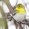 "Vireos: <span style=""color:#fff; background:#333;"">Yellow-throated Vireo </span> <br><span class=""showLBtitle"">                                                                                         </span> Squaw Creek Natural Wildlife Refuge <br> Holt County, Missouri <br> <a href=""/Birds/2013-Birding/Birding-2013-May/2013-05-03-04-Squaw-Creek-NWR/i-bTzHpsC"">2013-05-04</a> <br> <br> My 1st Missouri photo, species #286 <br> 2010-06-07 10:42:42 <br> <div class=""noshow"">See #286 in photo gallery <a href=""/Birds/2010-Birding/Birding-2010-June/2010-06-07-Lost-Valley-Trail/i-qZG8f5v"">here</a></div>"