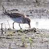 """Mudflats: Sandpipers: <span style=""""color:#fff; background:#333;"""">White‑rumpedSandpiper</span>  <br> Firma and Dalbow Roads <br> St. Charles County, Missouri <br> <a href=""""/Birds/2010-Birding/Birding-2010-May/2010-05-14-Hwy-79-Corridor/i-VprtQT3"""">2010-05-14</a> <br><br> My 1st Missouri photo, species  #285 <br> 2010-05-14 18:59:29 <br><div class=""""noshow"""">  See #285 in photo gallery  <a href=""""/Birds/2010-Birding/Birding-2010-May/2010-05-14-Hwy-79-Corridor/i-cL6w62W""""> here</a> </div>"""