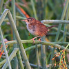 "Wrens: <span style=""color:#fff; background:#333;"">Marsh Wren </span> <br> Just West of Heron Pond Trail, West side <br> Riverlands Migratory Bird Sanctuary <br>	 <a href=""/Birds/2009-Birding/Birding-2009-August/2009-08-05-RMBS/i-gWxSpr8"">2009-08-05</a> <br><br> My 1st Missouri photo, species #260 <br> 2009-08-05 06:50:11 <br><div class=""noshow"">  See #260 in photo gallery  <a href=""/Birds/2009-Birding/Birding-2009-August/2009-08-05-RMBS/i-gcwFW2t""> here</a> </div>"