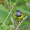 "Wood-Warblers: <span style=""color:#fff; background:#333;"">Mourning Warbler  </span> <br><span class=""showLBtitle"">                                                                                         </span> Lost Valley Trail <br> Weldon Springs Conservation Area <br> St. Charles County, Missouri <br> <a href=""//Birds/2007-Birding/Birding-2007-May/2007-05-11-Lost-Valley-Trail/i-v5QBrJX"">2007-05-11</a> <br> <br> My 1st Missouri photo, species #175 <br> 2007-05-11 19:13:38 <br> <div class=""noshow"">See #175 in photo gallery <a href=""/Birds/2007-Birding/Birding-2007-May/2007-05-11-Lost-Valley-Trail/i-v5QBrJX"">here</a></div>"