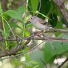 "Sparrows: <span style=""color:#fff; background:#333;"">Field Sparrow</span>  <br> Busch Wildlife Conservation Area <br> St. Charles County, Missouri <br> <a href=""/Birds/2006-Birding/Birding-2006-June/2006-06-05-Darst-Bottom-Road/i-gSxhwbk"">2006-06-05</a> <br><br> My 1st Missouri photo, species #118 <br> 2006-06-05 16:21:58 <br><div class=""noshow""> See #118 in photo gallery  <a href=""/Birds/2006-Birding/Birding-2006-June/2006-06-05-Darst-Bottom-Road/i-Xs4hQMg""> here</a> </div>"