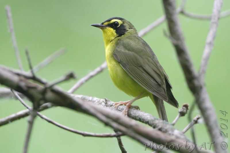 """Wood-Warblers: <span style=""""color:#fff; background:#333;"""">Kentucky Warbler </span> <br> Greer Crossing on Eleven Point River <br> <a href=""""/Birds/2014-Birding/Birding-2014-June/2014-06-02-Southern-Missouri/i-C2WFhJN"""">2014-06-02</a> <br><br> My 1st Missouri photo, species #168 <br> 2007-05-01 13:48:40 <br><div class=""""noshow"""">See #168 in photo gallery  <a href=""""/Birds/2007-Birding/Birding-2007-May/2007-05-01-Tower-Grove-Park/i-cRWsWBt""""> here</a> </div>"""