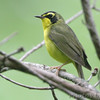 "Wood-Warblers: <span style=""color:#fff; background:#333;"">Kentucky Warbler </span> <br> Greer Crossing on Eleven Point River <br> 2014-06-02 <br><br> My 1st Missouri photo, species #168 <br> 2007-05-01 13:48:40 <br><div class=""noshow"">See #168 in photo gallery  <a href=""/Birds/2007-Birding/Birding-2007-May/2007-05-01-Tower-Grove-Park/i-cRWsWBt""> here</a> </div>"