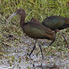 "Marsh Birds: Ibis: <span style=""color:#fff; background:#333;"">White-faced Ibis</span>  <br> Heron Pond <br> Riverlands Migratory Bird Sanctuary <br>	 <a href=""/Birds/2009-Birding/Birding-2009-October/2009-10-17-RMBS/i-82VvMPj%0A"">2009-10-17</a> <br><br> My 1st Missouri photo, species #269 <br> 2009-10-17 11:07:53 <br><div class=""noshow"">  See #269 in photo gallery  <a href=""/Birds/2009-Birding/Birding-2009-October/2009-10-17-RMBS/i-fhhg5S5""> here</a> </div>"