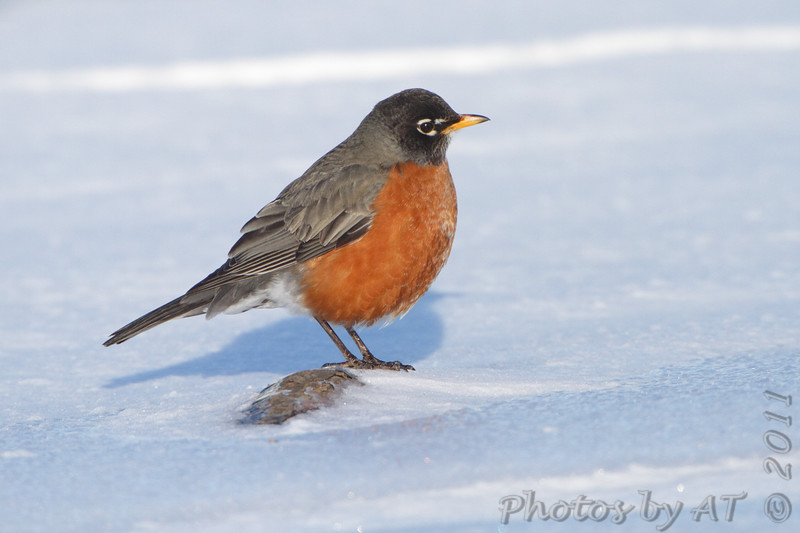 """Thrushes: <span style=""""color:#fff; background:#333;"""">American Robin </span> <br><span class=""""showLBtitle"""">                                             </span> Hide-a-Way Harbor <br> St. Charles County Park <br>St. Charles County, Missouri <br> <a href=""""/Birds/2011-Birding/Birding-2011-February/2011-02-03-St-Charles-County/i-d33sCvS"""">2011-02-03</a> <br> <br> My 1st Missouri photo, species #14 <br> 2004-06-20 10:34:58 <br> <div class=""""noshow"""">See #14 in photo gallery <a href=""""/Birds/Misc-Birds/i-67mcnTP"""">here</a></div>"""