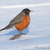 "Thrushes: <span style=""color:#fff; background:#333;"">American Robin </span> <br> Hide-a-Way Harbor <br> St. Charles County Park <br>St. Charles County, Missouri <br> <a href=""/Birds/2011-Birding/Birding-2011-February/2011-02-03-St-Charles-County/i-d33sCvS"">2011-02-03</a> <br><br> My 1st Missouri photo, species #14 <br> 2004-06-20 10:34:58 <br><div class=""noshow""> See #14 in photo gallery  <a href=""/Birds/Misc-Birds/i-67mcnTP""> here</a> </div>"