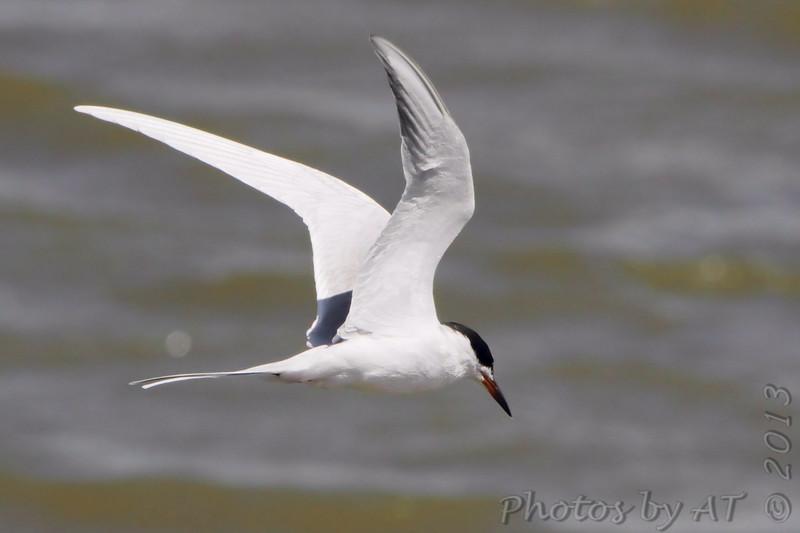 "Terns: <span style=""color:#fff; background:#333;"">Forster's Terns </span> <br> Ellis Bay <br> Riverlands Migratory Bird Sanctuary <br> St. Charles County, Missouri <br> <a href=""/Birds/2013-Birding/Birding-2013-April/2013-04-14-RMBS/i-twNxtBz"">2013-04-14</a> <br><br> My 1st Missouri photo, species #92 <br> 2006-05-05 14:27:49 <br><div class=""noshow"">See #92 in photo gallery  <a href=""/Birds/2006-Birding/Birding-2006-May/2006-05-05-Creve-Coeur-Lake/i-S3jZv3T""> here</a> </div>"