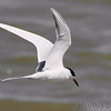 "Terns: <span style=""color:#fff; background:#333;"">Forster's Terns </span> <br> Ellis Bay <br> Riverlands Migratory Bird Sanctuary <br> <a href=""/Birds/2013-Birding/Birding-2013-April/2013-04-14-RMBS/i-twNxtBz"">2013-04-14</a> <br><br> My 1st Missouri photo, species #92 <br> 2006-05-05 14:27:49 <br><div class=""noshow"">See #92 in photo gallery  <a href=""/Birds/2006-Birding/Birding-2006-May/2006-05-05-Creve-Coeur-Lake/i-S3jZv3T""> here</a> </div>"