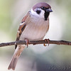 "Sparrows: <span style=""color:#fff; background:#333;"">Eurasian Tree Sparrow</span>  <br><span class=""showLBtitle"">                                                                                         </span> City of Bridgeton <br> St. Louis County, Missouri <br> <a href=""/Birds/2013-Birding/Birding-2013-October/2013-10-Yardbirds/i-dXnd27S"">2013-10-18</a> <br> <br> My 1st Missouri photo, species #27 <br> 2005-06-08 17:28:22 <br> <div class=""noshow"">See #27 in photo gallery <a href=""/Birds/Sparrows/i-bGMQX7w"">here</a></div>"
