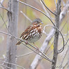 "Sparrows: <span style=""color:#fff; background:#333;"">Fox Sparrow</span>   <br> Riverland Migratory Bird Sanctuary <br> <a href=""/Birds/2008-Birding/Birding-2008-November/2008-11-10-Riverlands/i-nz4sj3w"">2008-11-10</a> <br><br> My 1st Missouri photo, species #49 <br> 2006-02-25 17:22:23 <div class=""noshow"">  See #49 in photo gallery  <a href=""/Birds/2006-Birding/Birding-2006-Jan-Feb/2006-02-25-Busch-Wildlife/i-SJXcqm6""> here</a> </div>"