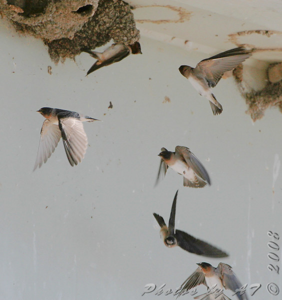 """Swallows: <span style=""""color:#fff; background:#333;"""">Cliff Swallows </span> <br> Riverlands Migratory Bird Sanctuary <br> St. Charles County, Missouri <br> <a href=""""/Birds/2008-Birding/Birding-2008-July/2008-07-14-Columbia-Bottom-and/i-Dz4KDPQ"""">2008-07-14</a> <br><br> My 1st Missouri photo, species #195 <br> 2008-07-14 10:25:41 <br><div class=""""noshow"""">  See #195 in photo gallery  <a href=""""/Birds/2008-Birding/Birding-2008-July/2008-07-14-Columbia-Bottom-and/i-CFQMB5B""""> here</a> </div>"""