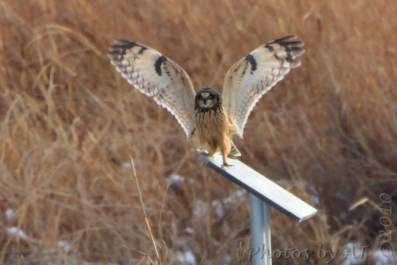 "Owls: <span style=""color:#fff; background:#333;"">Short-eared Owl </span> <br><span class=""showLBtitle"">                                             </span> Heron Pond <br> Riverlands Migratory Bird Sanctuary <br> St. Charles County, Missouri <br> <a href=""/Birds/2010-Birding/Birding-2010-December/2010-12-28-RMBS/i-NM9tTcJ"">2010-12-28</a> <br> <br> My 1st Missouri photo, species #274 <br> 2009-12-12 16:17:25 <br> <div class=""noshow"">See #274 in photo gallery <a href=""/Birds/2009-Birding/Birding-2009-December/2009-12-12-Smithville/i-fRGRdzt"">here</a></div>"