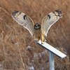 "Owls: <span style=""color:#fff; background:#333;"">Short-eared Owl </span> <br><span class=""showLBtitle"">                                                                                         </span> Heron Pond <br> Riverlands Migratory Bird Sanctuary <br> St. Charles County, Missouri <br> <a href=""/Birds/2010-Birding/Birding-2010-December/2010-12-28-RMBS/i-NM9tTcJ"">2010-12-28</a> <br> <br> My 1st Missouri photo, species #274 <br> 2009-12-12 16:17:25 <br> <div class=""noshow"">See #274 in photo gallery <a href=""/Birds/2009-Birding/Birding-2009-December/2009-12-12-Smithville/i-fRGRdzt"">here</a></div>"