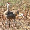 "Marsh Birds: <span style=""color:#fff; background:#333;"">Sandhill Cranes</span>  <br><span class=""showLBtitle"">                                             </span> Mallard Marsh <br> Squaw Creek National Wildlife Refuge   <br> Boone County, Missouri <br> <a href=""/Birds/2012-Birding/Birding-2012-August/2012-08-15-Neotropic-Cormorant/i-bpBLtbq"">2012-08-15</a> <br> <br> My 1st Missouri photo, species #130 <br> 2006-09-16 16:57:18 <br> <div class=""noshow"">See #130 in photo gallery <a href=""/Birds/2006-Birding/Birding-2006-September/2006-09-16-Clarence-Cannon-NWR/i-w7ZpNvG"">here</a></div>"