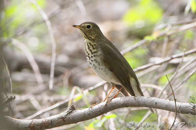 """Thrushes: <span style=""""color:#fff; background:#333;"""">Swainson's Thrush </span> <br><span class=""""showLBtitle"""">                                             </span> Bridgeton Trail <br> St. Louis County, Missouri <br> <a href=""""/Birds/2008-Birding/Birding-2008-April/2008-04-30-Bridgeton-Trail/i-Mbg32v3"""">2008-04-30</a> <br> <br> My 1st Missouri photo, species #165 <br> 2007-04-27 18:14:52 <br> <div class=""""noshow"""">See #165 in photo gallery <a href=""""/Birds/2007-Birding/Birding-2007-April/2007-04-27-Tower-Grove-Park/i-6L6GNr2"""">here</a></div>"""