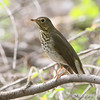 "Thrushes: <span style=""color:#fff; background:#333;"">Swainson's Thrush </span> <br><span class=""showLBtitle"">                                                                                         </span> Bridgeton Trail <br>	 St. Louis County, Missouri <br> <a href=""/Birds/2008-Birding/Birding-2008-April/2008-04-30-Bridgeton-Trail/i-Mbg32v3"">2008-04-30</a> <br> <br> My 1st Missouri photo, species #165 <br> 2007-04-27 18:14:52 <br> <div class=""noshow"">See #165 in photo gallery <a href=""/Birds/2007-Birding/Birding-2007-April/2007-04-27-Tower-Grove-Park/i-6L6GNr2"">here</a></div>"