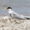 "Terns: <span style=""color:#fff; background:#333;"">Least Tern </span> <br> Riverlands Migratory Bird Sanctuary <br> Ellis Bay <br>	 <a href=""/Birds/2009-Birding/Birding-2009-July/2009-07-02-RMBS/i-N2KMrHg"">2009-07-02</a> <br><br> My 1st Missouri photo, species #255 <br> 2009-06-17 15:09:49 <div class=""noshow"">  See #255 in photo gallery  <a href=""/Birds/2009-Birding/Birding-2009-June/2009-06-17-RMBS/i-JJt7q2j""> here</a> </div>"