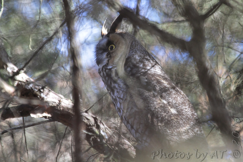 """Owls: <span style=""""color:#fff; background:#333;"""">Long-eared Owl</span>  <br> East of Kirksville <br> Knox County, Missouri <br> <a href=""""/Birds/2016-Birding/Birding-2016-February/20160206-Kirksville-Area/i-jdntGNt"""">2016-02-06</a> <br><br> My 1st Missouri photo, species #344 <br> 2016-02-06 12:22:2 <br><div class=""""noshow""""> See #344 in photo gallery  <a href=""""/Birds/2016-Birding/Birding-2016-February/2016-02-06-Kirksville-Area/i-JvW26cx""""> here</a> </div>"""