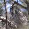 "Owls: <span style=""color:#fff; background:#333;"">Long-eared Owl</span>  <br> East of Kirksville <br> Knox County, Missouri <br> <a href=""/Birds/2016-Birding/Birding-2016-February/20160206-Kirksville-Area/i-jdntGNt"">2016-02-06</a> <br><br> My 1st Missouri photo, species #344 <br> 2016-02-06 12:22:2 <br><div class=""noshow""> See #344 in photo gallery  <a href=""/Birds/2016-Birding/Birding-2016-February/2016-02-06-Kirksville-Area/i-JvW26cx""> here</a> </div>"