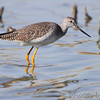 """Mudflats: Sandpipers: <span style=""""color:#fff; background:#333;"""">Greater Yellowlegs</span>  <br> Confluence Point State Park <br> pipeline pool west <br> St. Charles County, Missouri <br> <a href=""""/Birds/2010-Birding/Birding-2010-November/2010-11-03-RMBS/i-SsxFd4x"""">2010-11-03</a> <br><br> My 1st Missouri photo, species #83 <br> 2006-04-27 10:41:40 <br><div class=""""noshow""""> See #83 in photo gallery  <a href=""""/Birds/2006-Birding/Birding-2006-April/2006-04-27-Riverlands/i-464gCnX""""> here</a> </div>"""