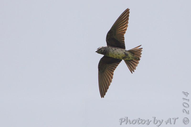 "Swallows: <span style=""color:#fff; background:#333;"">Purple Martin </span> <br> Busch Wildlife Conservation Area <br> <a href=""/Birds/2014-Birding/Birding-2014-May/2014-05-30-Busch-Wildlife/i-pXL5JKz"">2014-05-30</a> <br><br> My 1st Missouri photo, species #251 <br> 2009-05-31 17:56:04 <br><div class=""noshow"">  See #251 in photo gallery  <a href=""/Birds/2009-Birding/Birding-2009-May/2009-05-31-Valley-Park/i-KkGmmKr""> here</a> </div>"