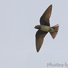 "Swallows: <span style=""color:#fff; background:#333;"">Purple Martin </span> <br> Busch Wildlife Conservation Area <br>	 <a href=""/Birds/2014-Birding/Birding-2014-May/2014-05-30-Busch-Wildlife/i-pXL5JKz"">2014-05-30</a> <br><br> My 1st Missouri photo, species #251 <br> 2009-05-31 17:56:04 <br><div class=""noshow"">  See #251 in photo gallery  <a href=""/Birds/2009-Birding/Birding-2009-May/2009-05-31-Valley-Park/i-KkGmmKr""> here</a> </div>"