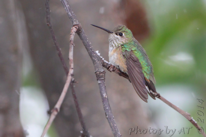 "Hummingbirds: <span style=""color:#fff; background:#333;"">Calliope Hummingbird</span>  <br>(1st year male) <br> Smallest bird in North America  <br> Ozark, MO <br> <a href=""/Birds/2014-Birding/Birding-2014-November/2014-11-15-16-SW-Missouri/i-mC3X8FV"">2014-11-15</a> <br><br>  My 1st Missouri photo, species #336 <br><span style=""color:#fff"">*** 2nd Missouri Record ***</span> <br> 2014-11-15 2:41pm<br><div class=""noshow"">  See #336 in photo gallery  <a href=""/Birds/2014-Birding/Birding-2014-November/2014-11-15-16-SW-Missouri/i-nGqXcL7""> here</a> </div>"