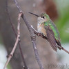 """Hummingbirds: <span style=""""color:#fff; background:#333;"""">Calliope Hummingbird</span>  <br>(1st year male) <br> <span class=""""showLBtitle"""">                               </span> Smallest bird in North America <br> City of Ozark <br> Christian County, Missouri <br> <a href=""""/Birds/2014-Birding/Birding-2014-November/2014-11-15-16-SW-Missouri/i-mC3X8FV"""">2014-11-15</a> <br> <br> My 1st Missouri photo, species #336 <br><span style=""""color:#fff""""> *** 2nd Missouri Record ***</span> <br> 2014-11-15 2:41pm<br><div class=""""noshow"""">  See #336 in photo gallery <a href=""""/Birds/2014-Birding/Birding-2014-November/2014-11-15-16-SW-Missouri/i-nGqXcL7"""">here</a></div>"""