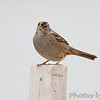 """Sparrows: <span style=""""color:#fff; background:#333;"""">Golden-crowned Sparrow</span>  <br> City of Linn <br> Osage County, Missouri <br> <a href=""""/Birds/2011-Birding/Birding-2011-January/2011-01-10-Linn-MO/i-3486n5n"""">2011-01-10</a> <br><br> My 1st Missouri photo, species #295 <br><span style=""""color:#fff"""">*** Missouri's 4th state record ***</span> <br> 2011-01-10 11:52:34 <br><div class=""""noshow"""">  See #295 in photo gallery  <a href=""""/Birds/2011-Birding/Birding-2011-January/2011-01-10-Linn-MO/i-THLK5Qr""""> here</a> </div>"""