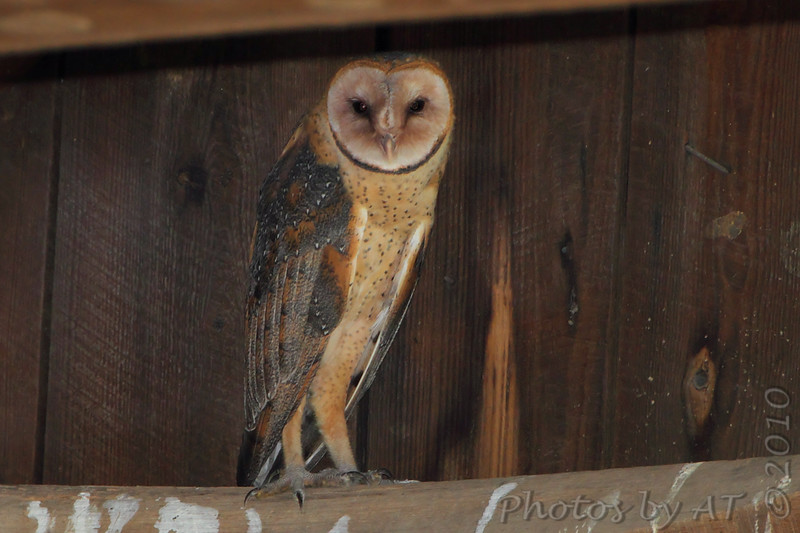 "Owls: <span style=""color:#fff; background:#333;"">Barn Owl</span>  <br><span class=""showLBtitle"">                                                                                         </span> Manitz Conservation Area <br> Cape Girardeau County, Missouri <br> <a href=""/Birds/2010-Birding/Birding-2010-June/2010-06-16-SE-Mo/i-g6HWFD5"">2010-06-16</a> <br> <br> My 1st Missouri photo, species #208 <br> 2008-08-19 08:36:32 <br> <div class=""noshow"">See #208 in photo gallery <a href=""/Birds/2008-Birding/Birding-2008-August/2008-08-19-Maintz-Otter-Slough/i-pGzGKSP"">here</a></div>"